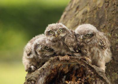 Steenuil_Little-Owl_athene-Noctua_marcelloromeo_1856