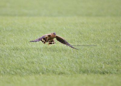 Steppekiekendief_Pallid Harrier_Circus Macrourus_Marcelloromeo_11934