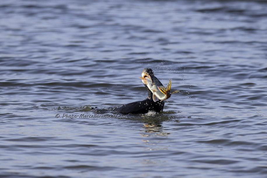 000000000000000_Aalscholver_great cormorant _Phalacrocorax carbo_Marcelloromeo_6472
