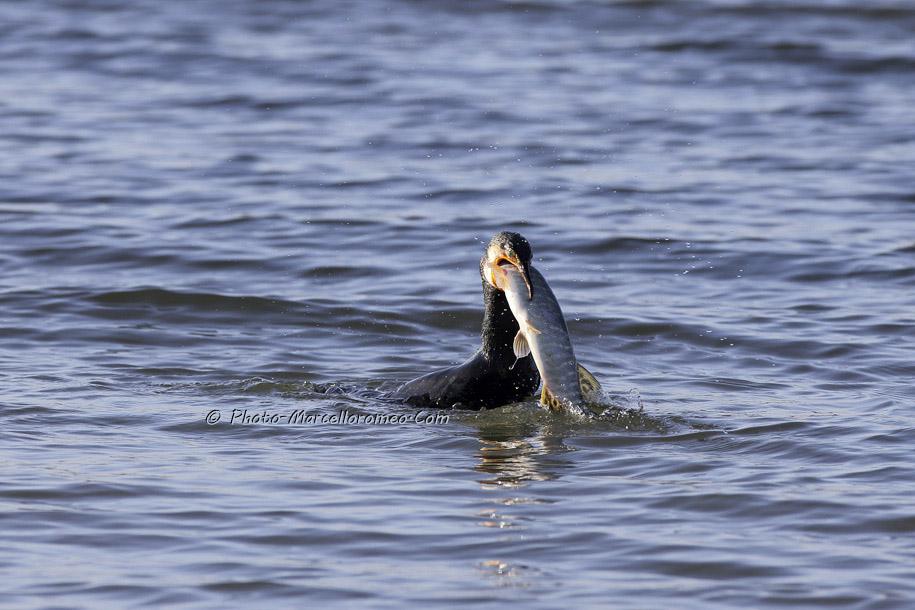 000000000000000_Aalscholver_great cormorant _Phalacrocorax carbo_Marcelloromeo_6473