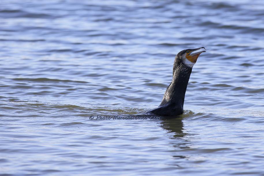 000000000000000_Aalscholver_great cormorant _Phalacrocorax carbo_Marcelloromeo_6482
