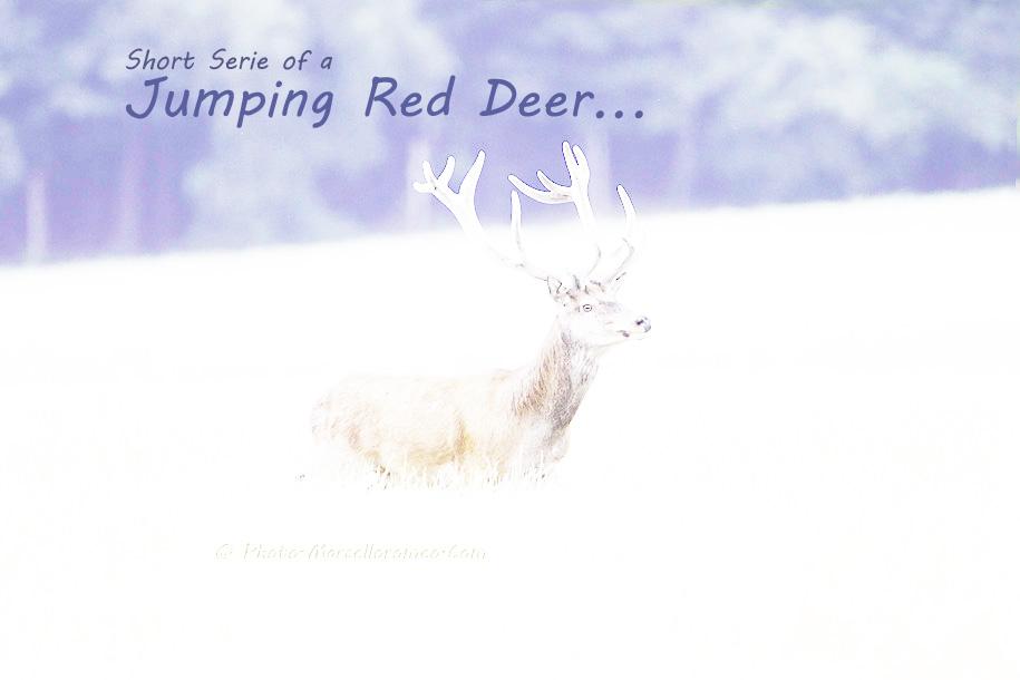 00000000000000_Edelhert_Red-Deer_Cervus-Elaphus_marcelloromeo_2637