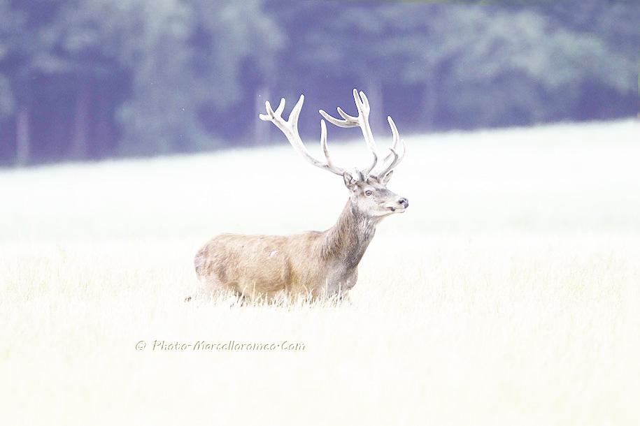 00000000000000_Edelhert_Red-Deer_Cervus-Elaphus_marcelloromeo_2638