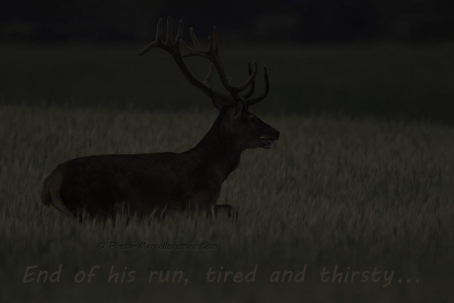 00000000000000_Edelhert_Red-Deer_Cervus-Elaphus_marcelloromeo_2651