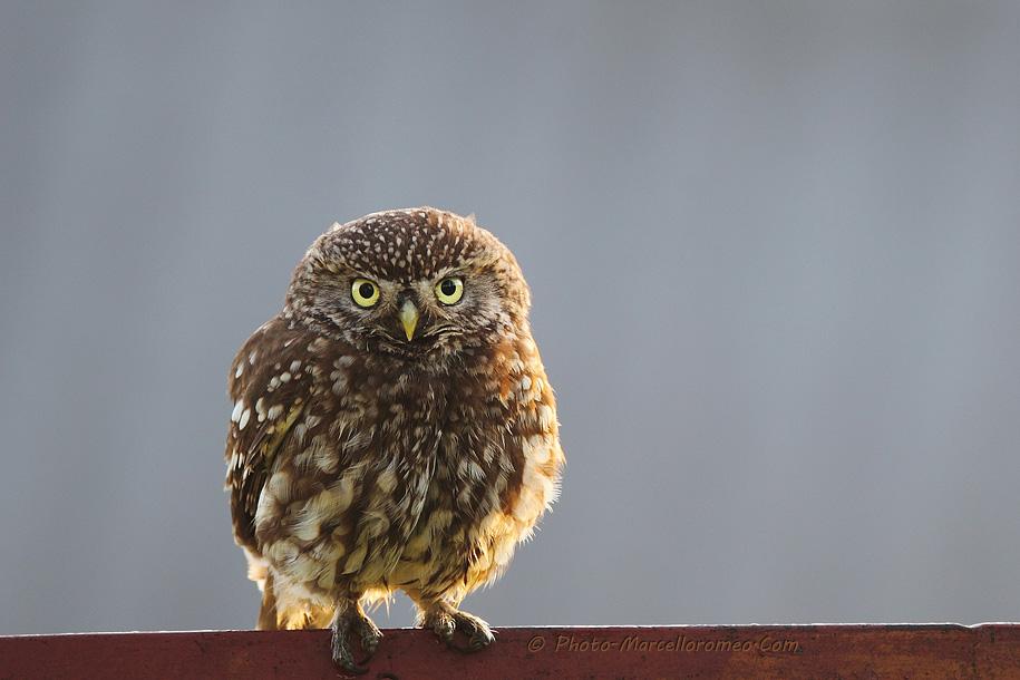 0000000000000_Steenuil_Little Owl_Athene Noctua_marcelloromeo_2609