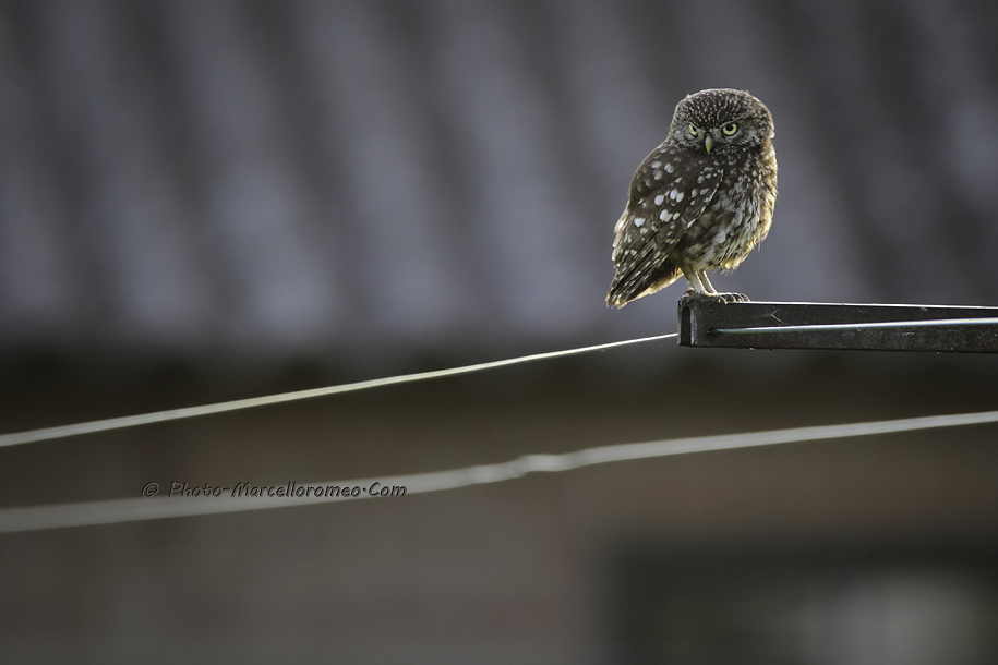 0000000000000_Steenuil_Little-Owl_Athene-Noctua_marcelloromeo_2615