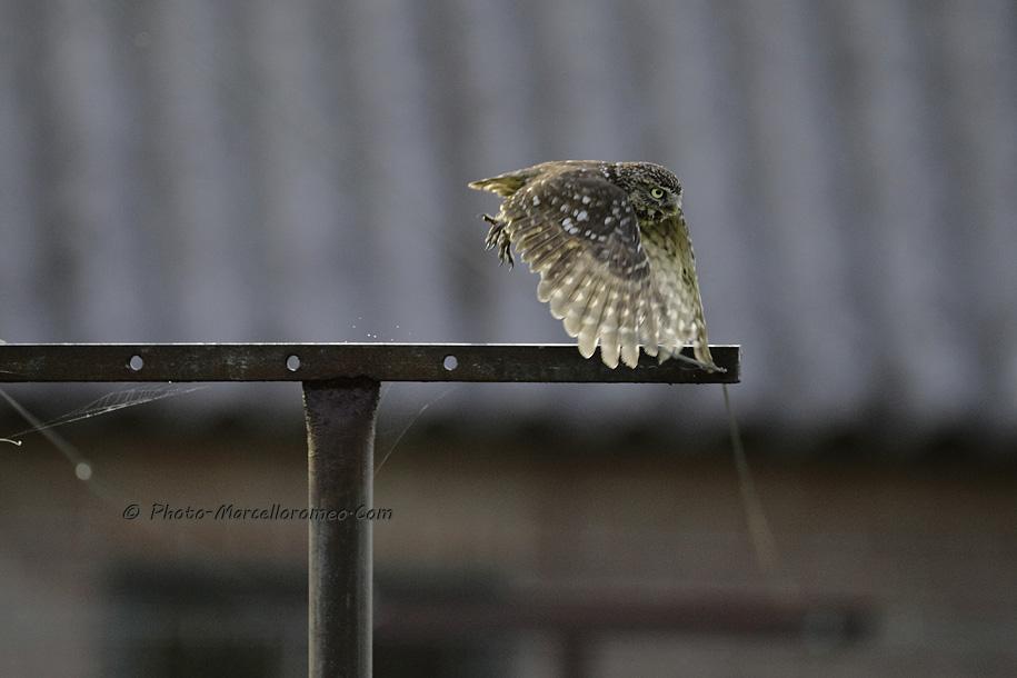 0000000000000_Steenuil_Little-Owl_Athene-Noctua_marcelloromeo_2616B