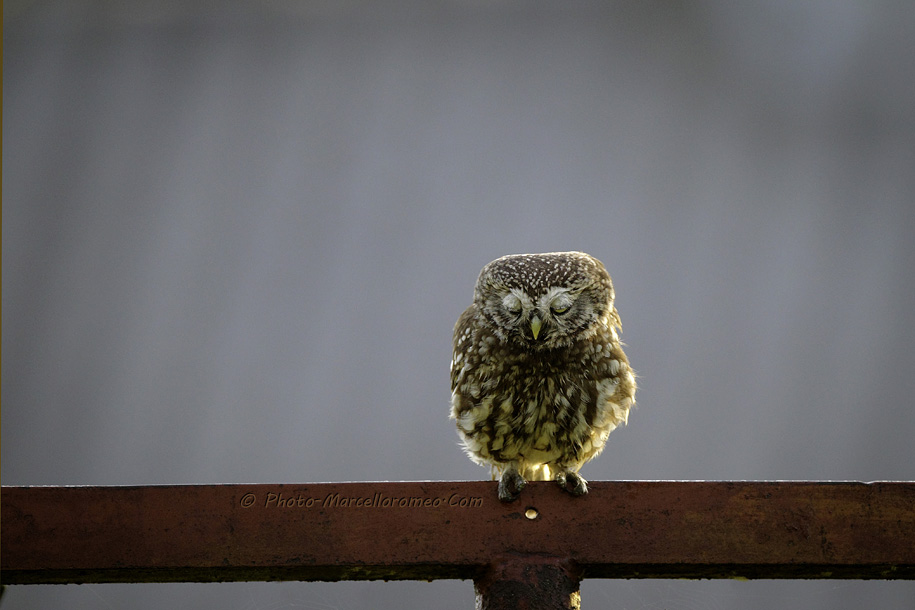 0000000000000_Steenuil_Little-Owl_Athene-Noctua_marcelloromeo_2623