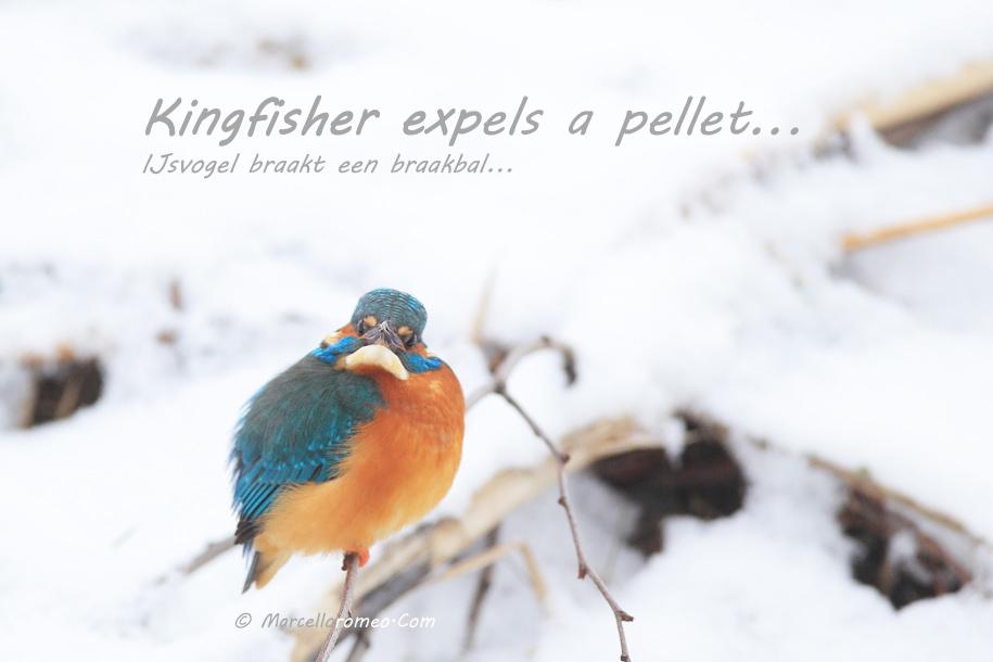 000000000000_IJsvogel_Kingfisher_Alcedo Atthis_marcelloromeo_1724
