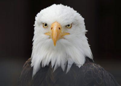 Amerikaanse Zeearend_Bald Eagle_Haliaeetus leucocephalus_Marcelloromeo_11337