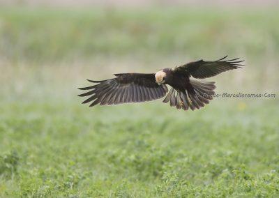 Bruine Kiekendief_Marsh Harrier_Circus Aeruginosus_Marcelloromeo_11665