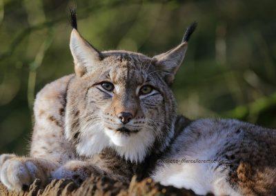 Euraziatische Lynx_Eurasian Lynx_Lynx Lynx_Marcelloromeo_12324