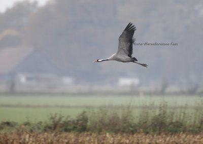 Kraanvogel_Common Crane_Grus Grus_Marcelloromeo_12097