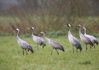 Kraanvogel_Common Crane_Grus Grus_Marcelloromeo_12098