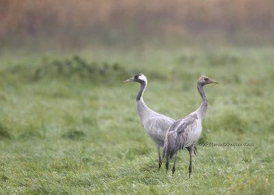 Kraanvogel_Common Crane_Grus Grus_Marcelloromeo_12099