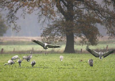 Kraanvogel_Common Crane_Grus Grus_Marcelloromeo_12111