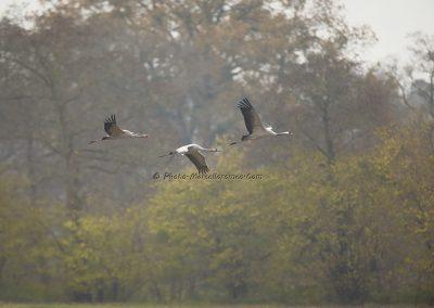 Kraanvogel_Common Crane_Grus Grus_Marcelloromeo_12116