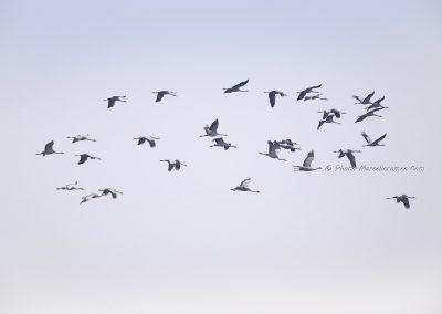 Kraanvogel_Common Crane_Grus Grus_Marcelloromeo_12120