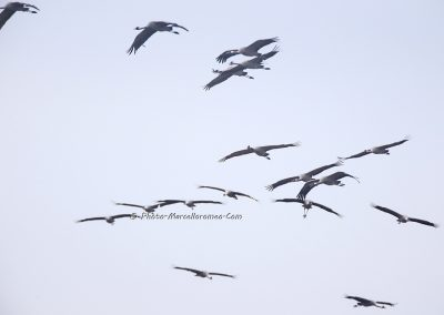 Kraanvogel_Common Crane_Grus Grus_Marcelloromeo_12122