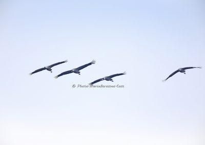 Kraanvogel_Common Crane_Grus Grus_Marcelloromeo_12126
