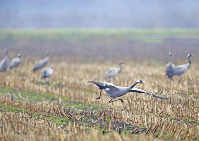 Kraanvogel_Common Crane_Grus Grus_Marcelloromeo_12128