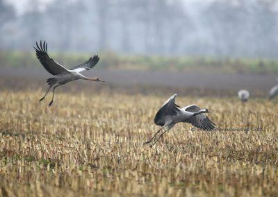 Kraanvogel_Common Crane_Grus Grus_Marcelloromeo_12132