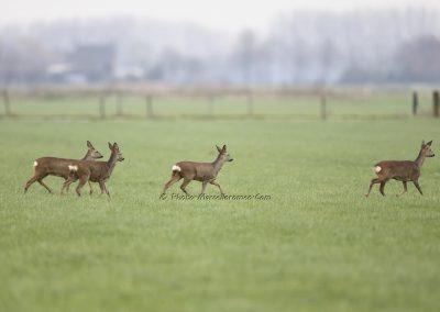 Ree_Roe Deer_Capreolus Capreolus_Marcelloromeo_12229