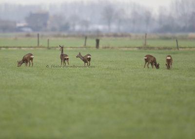 Ree_Roe Deer_Capreolus Capreolus_Marcelloromeo_12230