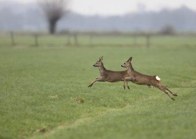 Ree_Roe Deer_Capreolus Capreolus_Marcelloromeo_12235