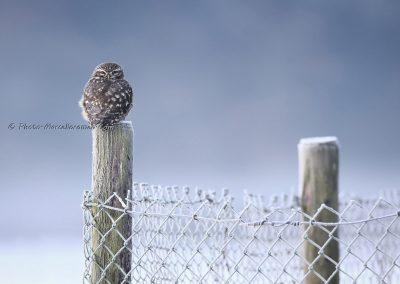 Steenuil_Little Owl_Athene Noctua_Marcelloromeo_12286
