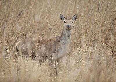 Edelhert_Red Deer_Cervus Elaphus_Marcelloromeo_12433