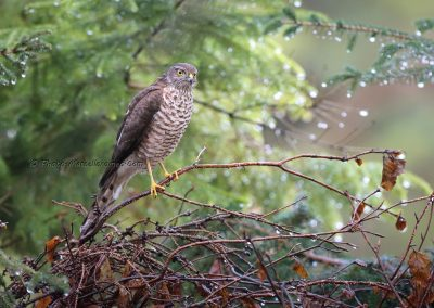 Sperwer_Sparrowhawk_Accipiter Nisis_Marcelloromeo_12443