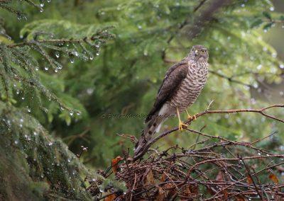 Sperwer_Sparrowhawk_Accipiter Nisis_Marcelloromeo_12444