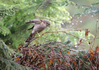 Sperwer_Sparrowhawk_Accipiter Nisis_Marcelloromeo_12447