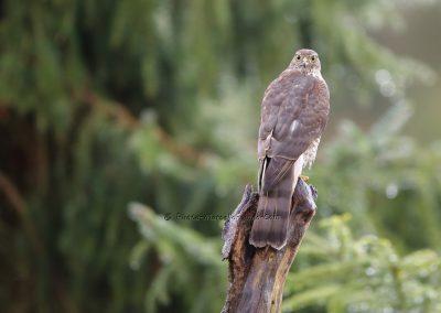 Sperwer_Sparrowhawk_Accipiter Nisis_Marcelloromeo_12450