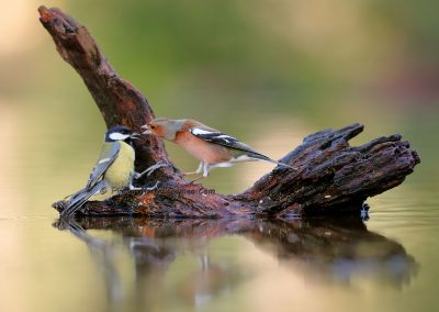 Vink_Common Chaffinch_Fringilla Coelebs_Koolmees_Great Tit_Parus Major_Marcelloromeo_12454