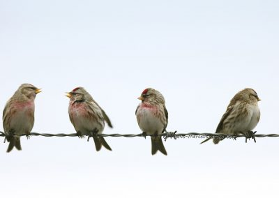 Grote Barmsijs_Common Redpoll_Acanthis Flammea_Marcelloromeo_12554