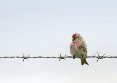 Grote Barmsijs_Common Redpoll_Acanthis Flammea_Marcelloromeo_12562