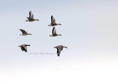 Kolgans_Greater White-fronted Goose_Anser Albifrons_Marcelloromeo_12528