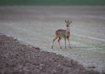 Ree_Roe Deer_Capreolus Capreolus_Marcelloromeo_12628