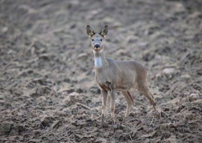 Ree_Roe Deer_Capreolus Capreolus_Marcelloromeo_12643