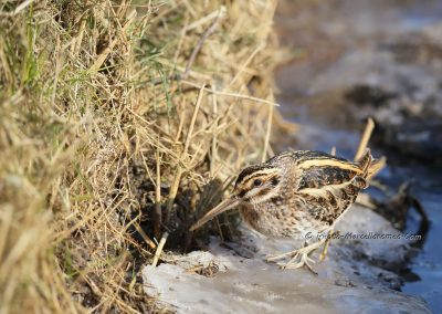 Watersnip_Common Snipe_Gallinago Gallinago__Marcelloromeo_12868