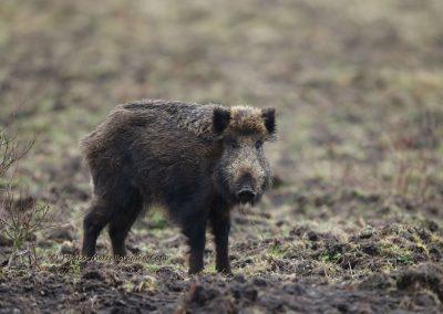 Wild Zwijn_Wild Boar_Sus Scrofa_Marcelloromeo_12978