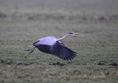 Blauwe Reiger;Grey Heron_marcelloromeo_2013