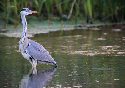 Blauwe Reiger_Grey Heron_marcelloromeo_1563