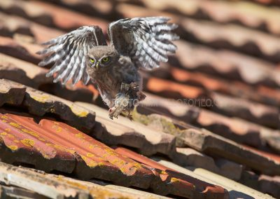 Young little owl flies on a roof to eat from the through the parents brought in prey (tree Sparrow)