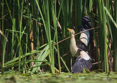 Male little bittern spreading his wings
