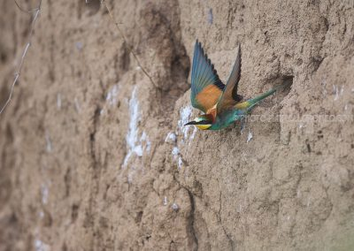 Bee-eater flies out the nest cavity