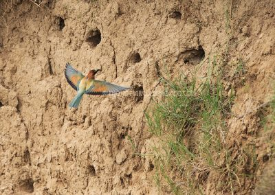 Bee-eater flies to the nest cavity