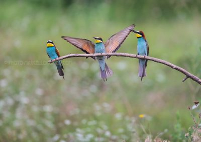 Bee-eaters resting (and landing) on a branch